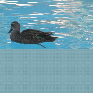 Ducks in the pool. Watch out for the cat!